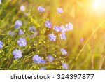 Blue Flowers Of Flax Lit With...