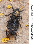 Small photo of Acherontia atropos. Sphinx of the skull. Butterfly death.
