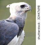 Small photo of magnificent american harpy eagle or Harpia harpyja , side profile full frame, corcovado nat park, costa rica, central america