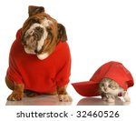 Stock photo dog and cat playing english bulldog in red sweater and kitten playing under baseball cap 32460526
