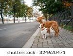 Stock photo dog breed nova scotia duck tolling retriever and jack russell terrier walking in autumn park 324620471