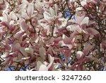 pink magnolia blooming... | Shutterstock . vector #3247260
