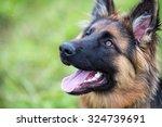 Young Dog German Shepherd On...