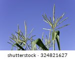 Yellow Green Colored Tassels Of ...
