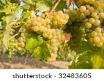 bunch of ripe grapes on... | Shutterstock . vector #32483605