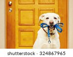 Labrador Retriever With Leash ...