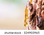 Drop Of Resin On Tree Bark