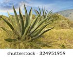 Agave Century Plant Maguey...