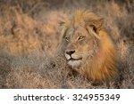 Morning Lion  Balule Reserve ...
