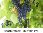 bunches of red grapes hanging... | Shutterstock . vector #324984191