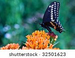 Swallowtail butterfly feeding on Butterfly Weed with extreme shallow DOF. - stock photo