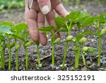 hand with small bean plants in... | Shutterstock . vector #325152191