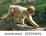 Young Barbary Macaques Goes On...
