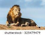 A Big Male Lion Surveys His...