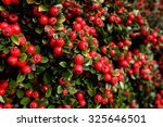 Bright Red Cotoneaster Berries...