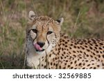 a cheetah licks his lips after... | Shutterstock . vector #32569885