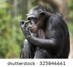 Portrait Of A Chimpanzee...
