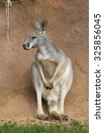 Small photo of female red kangaroo, Megaleia rufa