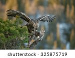 Golden Eagle Feeding On A Pine...
