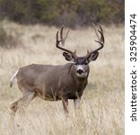 Small photo of Large, heavy antlered Mule Deer buck stag in prairie grassland habitat big game deer hunting in the american west