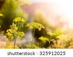 plantation of flowering dill... | Shutterstock . vector #325912025