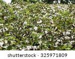 cotton field with ripe cotton...   Shutterstock . vector #325971809