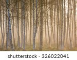Sunrise Fog In Birch Tree Forest