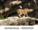 Tiger stalking - stock photo