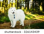 Happy White Samoyed Dog Outdoo...