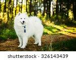 Happy White Samoyed Dog Outdoo...