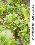 Small photo of Aeonium arboreum