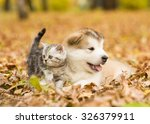 Stock photo scottish cat and alaskan malamute puppy dog together in autumn park 326379911