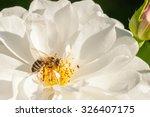 European Honey Bee  Apis...
