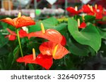 Anthurium Flowers In Huge...