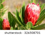 Protea Flower Special Pink Ice
