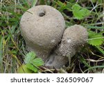 Spiny Puffball Fungus  ...