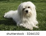 Uncommon Breed Of Dog Coton De...