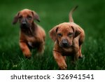 Stock photo adorable little rhodesian ridgeback puppies playing together in garden funny expressions in their 326941541