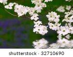 White Dogwood Blossoms Over...