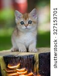Stock photo red british kitten sitting on a stump in the garden in the summer 327153701