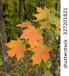 Small photo of Sugar Maple (Acer saccharum) with Colorful Fall Leaves
