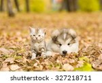 Stock photo alaskan malamute puppy and scottish kitten lying together in autumn park 327218711