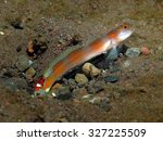 Small photo of Flag-Tail Shrimp-Goby (Amblyeleotris yanoi) and Alpheid shrimp