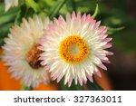 Everlasting Or Straw Flowers
