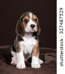Stock photo small beagle puppy sitting on a brown background 327487529