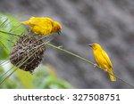 Two Golden Palm Weaving Birds...