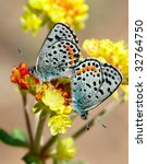 Small photo of A pair of Acmon Blue butterflies (Icaricia acmon) resting on bright yellow buckwheat flower heads in a mirror image position.