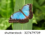 Peleides Blue Morpho  Common...