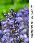 Small photo of Ajuga genevensis