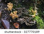 Group Of Mushroom  Coprinellus...